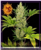 Barneys Farm Auto Blue Cheese Fem 3 Weed Seeds